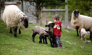 sheep on farm with kid